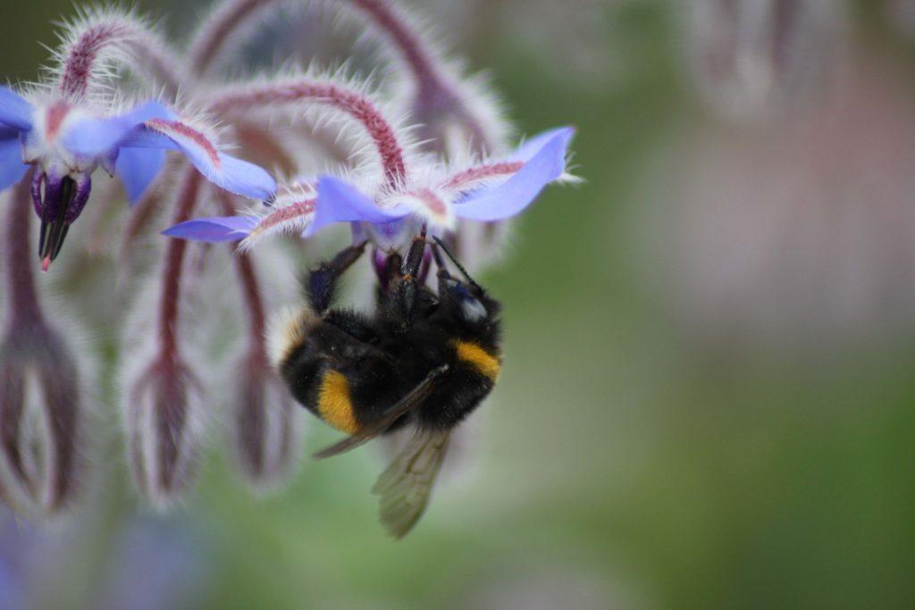 bee on borage microbial seed treatment