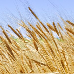 Organic producers can now benefit from approved biostimulants from Olmix-Micromix