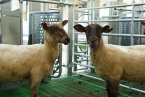 Rothamsted Hi-tech sheep shed