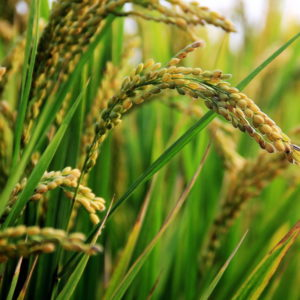 JIC discovery could pave the way for disease-resistant rice crops
