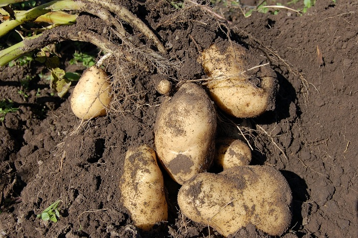 sprout suppressant Potatoes growing