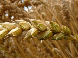 Crops are more vulnerable to weeds