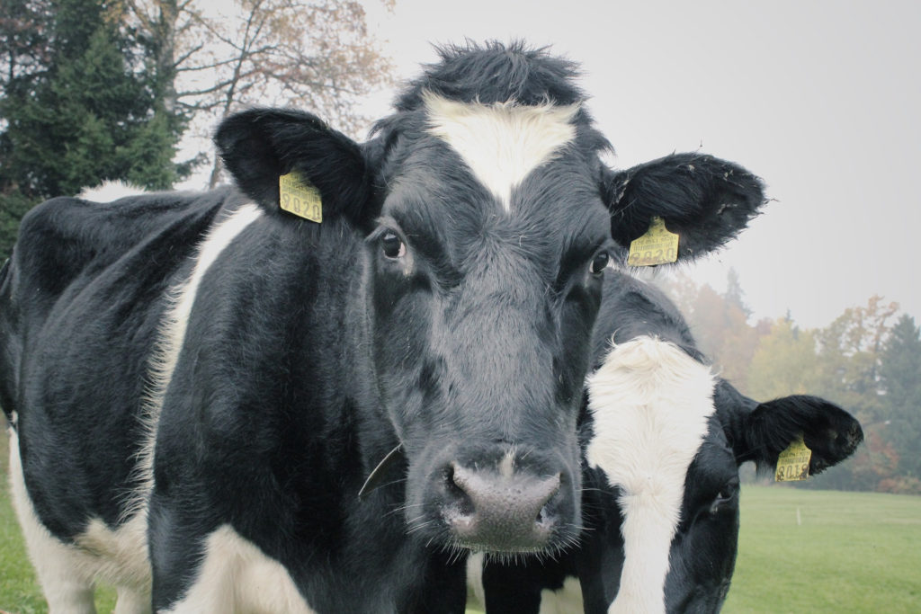 Research shows Actiphage improvement on current bovine TB testing