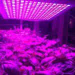 CEA - Lighting is important - indoor farming - CREDIT Growpura