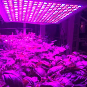 CEA - Lighting is important - indoor farming - CREDIT Growpura