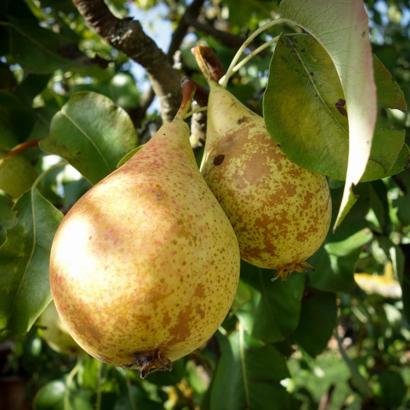 Pears - top fruit