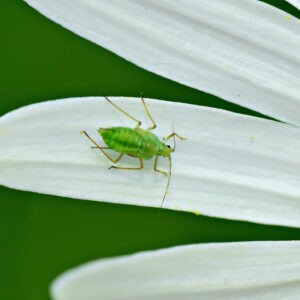 Aphids and bad weather: BBRO keen to share knowledge