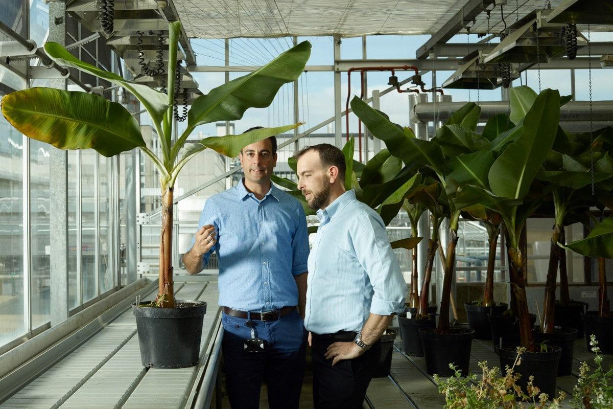 Advanced breeding technology to save the banana at Tropic Biosciences