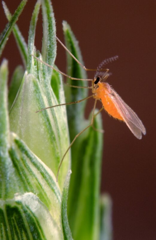 Pherosyn - Orange Wheat Blossom Midge