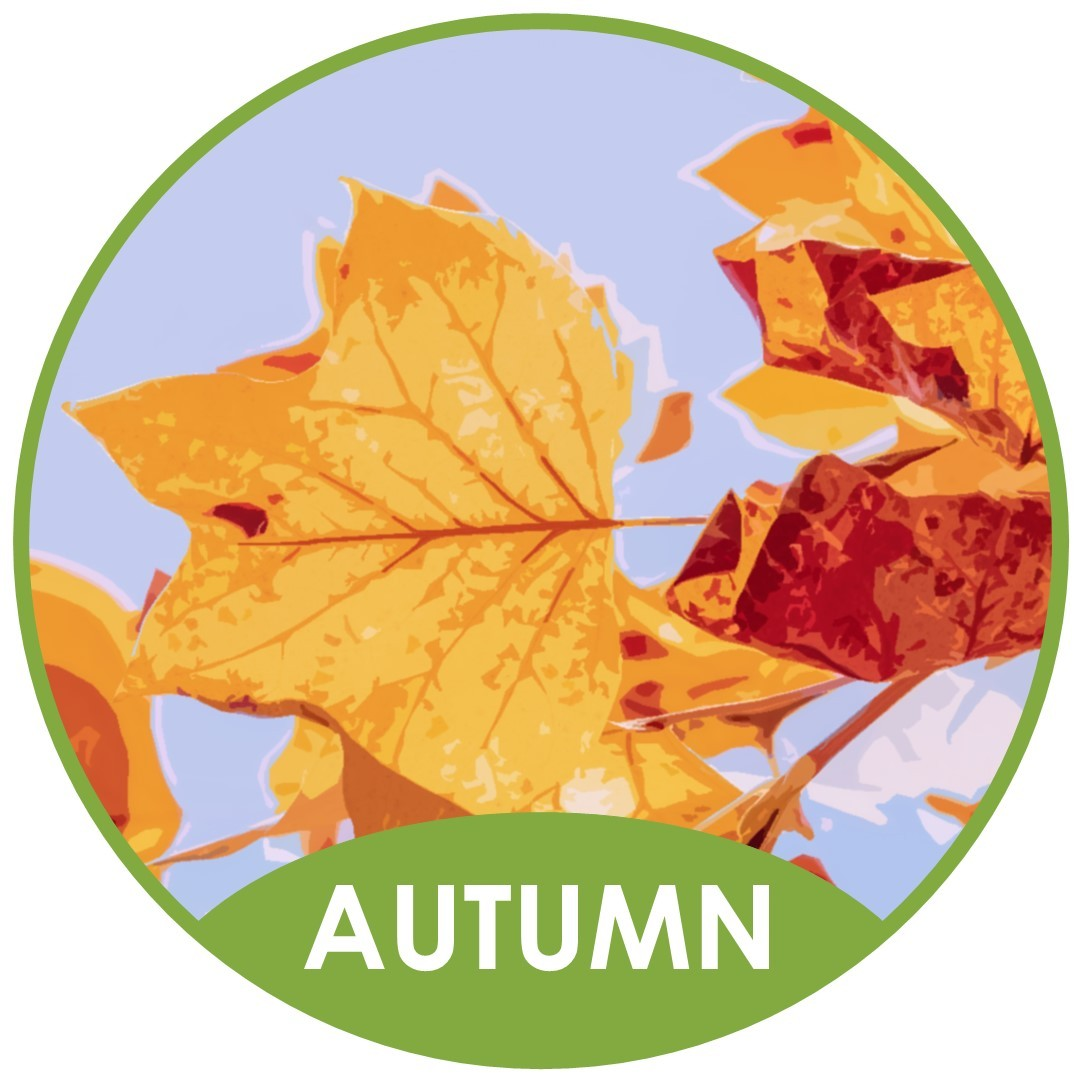What does the falling of leaves from trees in Autumn have in common with the release of L. biglobosa (Phoma B) ascospores?