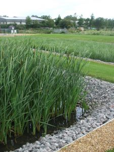 Reed bed creates sustainable source of water for veg