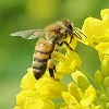 Bee friendly oil seed rape research
