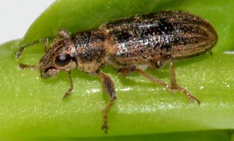 Biological 'lure and kill' system for bean weevils shows promise