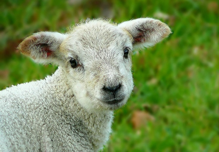 Lamb - no more lost sheep with Movetech