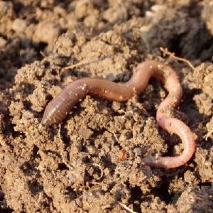 Using earthworms as indicators of soil health 2