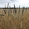 'Powerful and convincing' evidence for better integrated black-grass control, new AHDB report